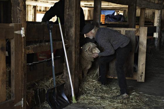 Sheep Shearing Time