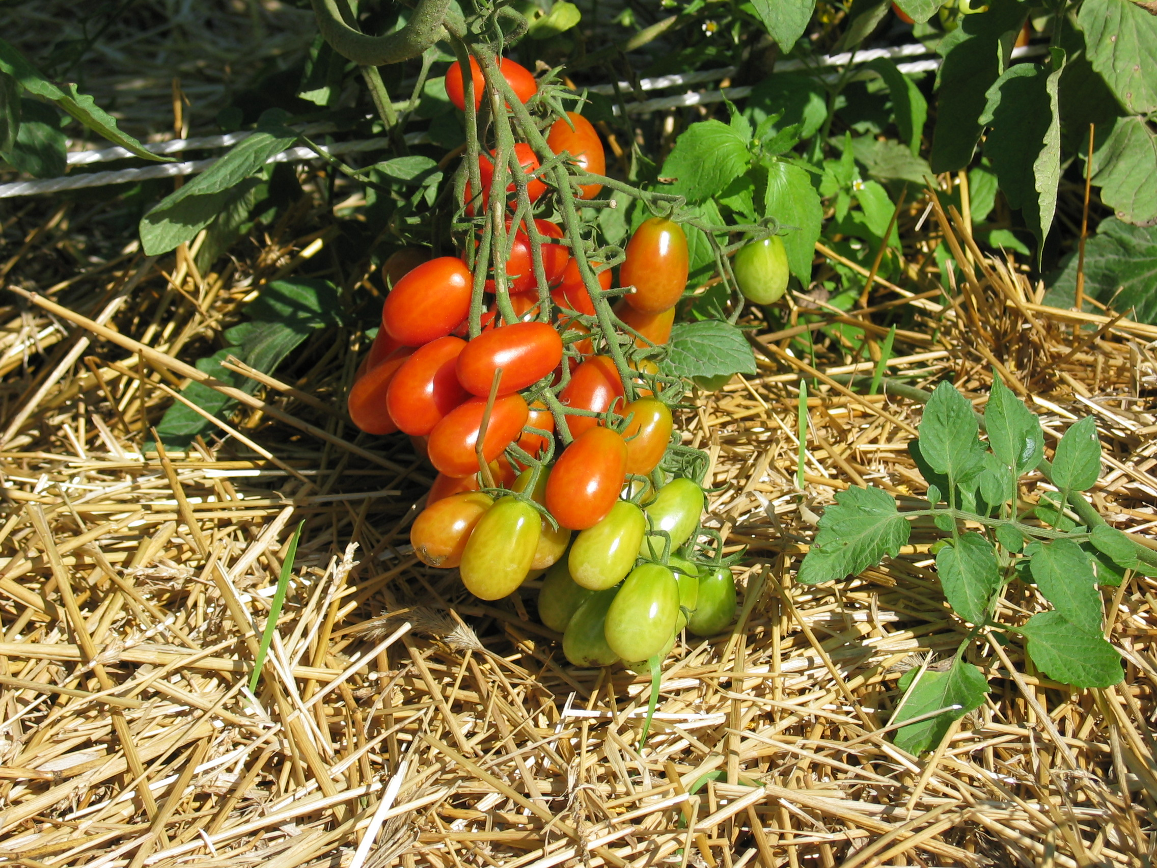 Grow Your Own Tomatoes This Year