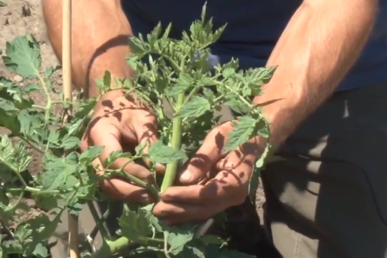 Sustainable Dish Clip – Tomato Plant Care