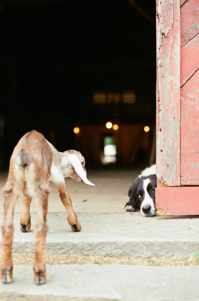 """Photo of """"Chase"""" the farm dog at Clark Farm, taken by White Loft Studio for The Homegrown Paleo Cookbook"""