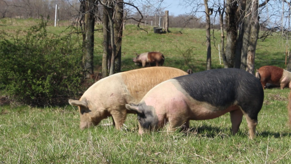 Happy pigs on pasture make the best pork!